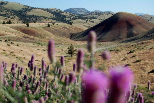 purple flowers in painted hills